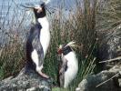 Ny pingvinrace opdaget!
