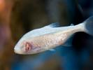 Fisken der har mistet sine øjne
