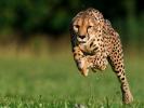 Verdens hurtigste dyr har sat ny verdensrekord